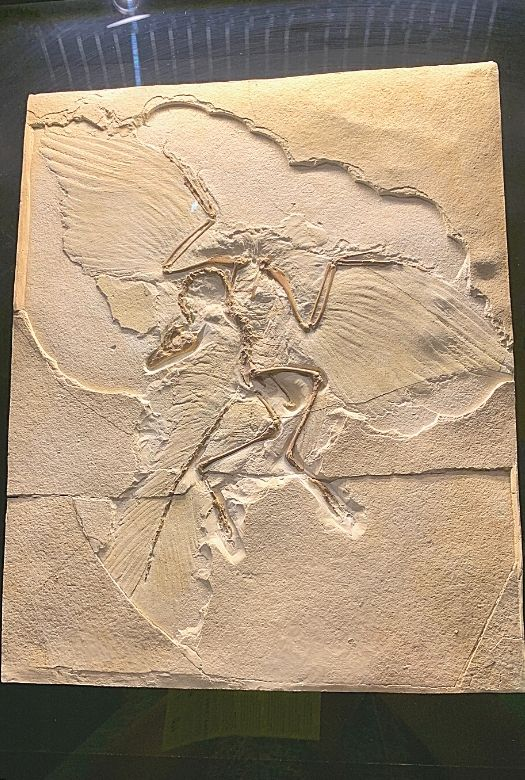 One of 11 archaeopteryx fossils on display at the Senckenbrg Museum